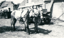 our mules at tthe Company Store הפרדות ליד חדר האוכל